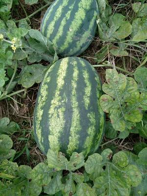广西壮族自治区桂林市临桂县缅甸西瓜 有籽 1茬 7成熟 15斤打底