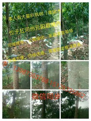 云南省红河哈尼族彝族自治州元阳县重阳木