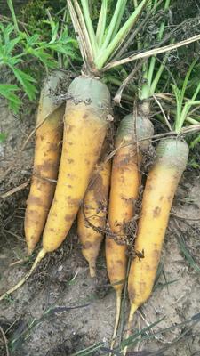 陕西省榆林市定边县黄胡萝卜 15cm以上 3两以上 3cm以下