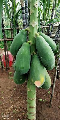 海南省海口市琼山区红心木瓜 2 - 2.5斤