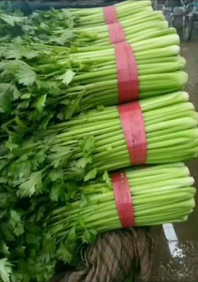 河北省邯郸市永年县法国皇后芹菜 40~45cm 露天种植 0.5~1.0斤