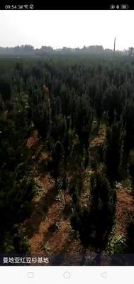 山东省泰安市岱岳区曼地亚红豆杉 1~1.5米