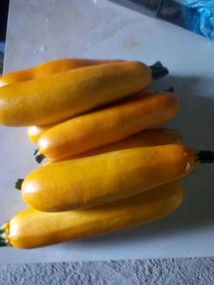 广西壮族自治区河池市南丹县香蕉西葫芦 0.6~0.8斤