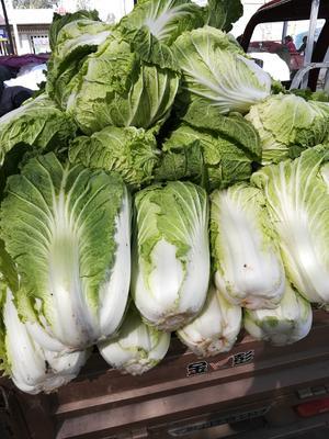 陕西省宝鸡市陈仓区秦杂二号大白菜 2~3斤 净菜