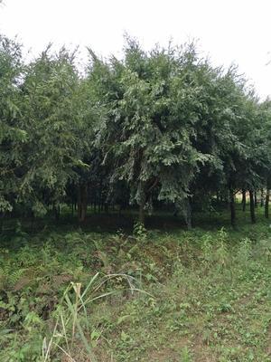 广东省清远市清新区南方红豆杉 5米以上