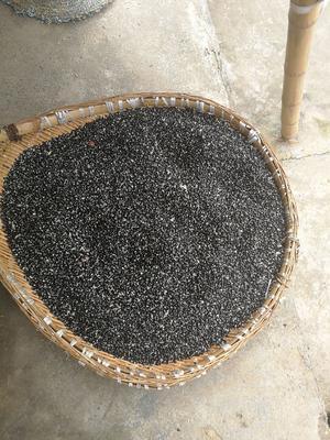 重庆武隆县紫色一号八月瓜 种植 150g以上