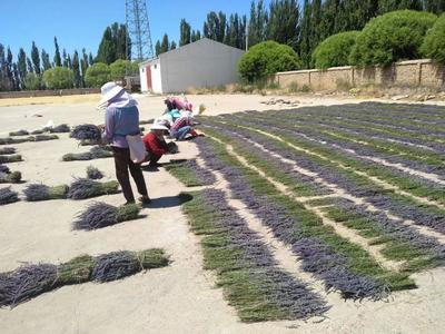 新疆维吾尔自治区乌鲁木齐市沙依巴克区法国薰衣草