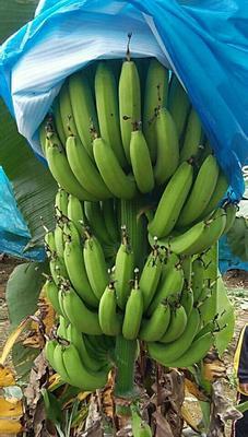 广东省肇庆市封开县广东香蕉1号 七成熟 40 - 50斤