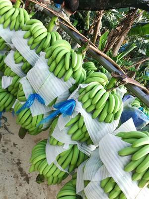 广西壮族自治区百色市田东县威廉斯香蕉 七成熟 40 - 50斤