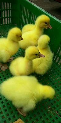 这是一张关于三花杂交鹅苗 的产品图片