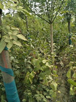 河南省许昌市鄢陵县紫丁香 4cm以下 2cm以下 1.5~2米