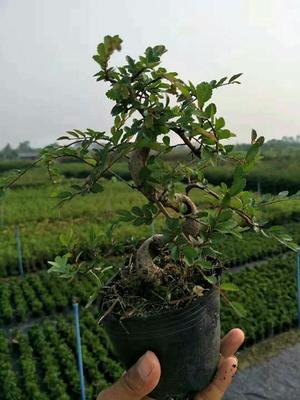 广东省广州市荔湾区造型榆树