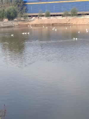河北省唐山市古冶区种鹅蛋 孵化 散装