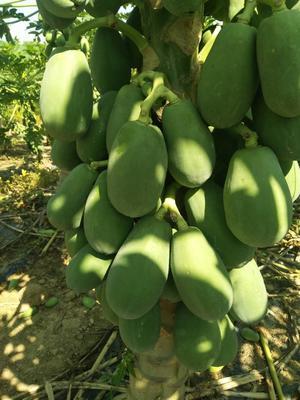 海南省海口市琼山区大白木瓜 1.5 - 2斤