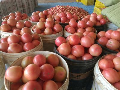 河南省安阳市安阳县粉果番茄 不打冷 硬粉 弧三以上