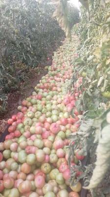 河北省石家庄市新乐市大红硬果 不打冷 硬粉 弧二以上