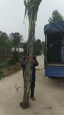 湖北省湖北省仙桃市青皮甘蔗 3m以上 6 - 8cm