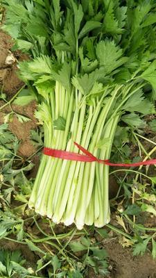 河南省商丘市夏邑县法国皇后芹菜 50~55cm 露天种植 0.5斤以下