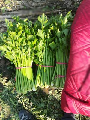 河南省安阳市滑县西芹 40~45cm 露天种植 0.5~1.0斤