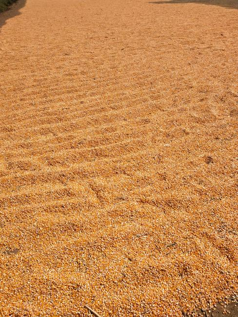 玉米干粮 霉变≤1% 杂质很少
