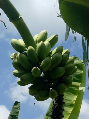 广西壮族自治区南宁市西乡塘区小米蕉 八成熟