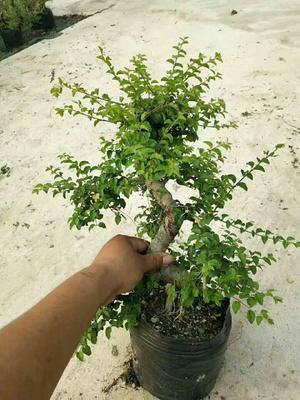 广东省广州市花都区小叶女贞造型树
