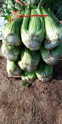 甘肃省定西市临洮县美国文图拉芹菜 60cm以上 露天种植 2.0~2.5斤