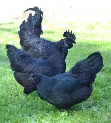海南省海南省文昌市黑羽乌鸡 3-4斤