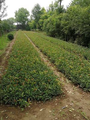 陕西省西安市周至县红叶石楠营养钵