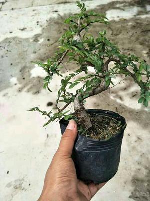 广东省广州市花都区造型榆树
