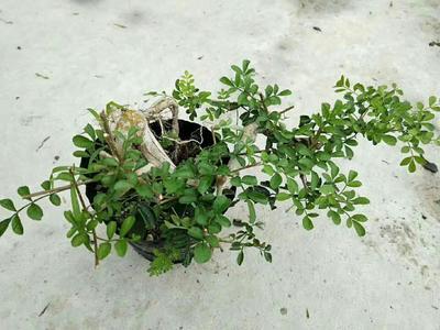 广东省广州市花都区对节白蜡 0.5米以下