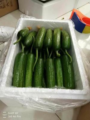 陕西省渭南市大荔县水果黄瓜 18cm以下 鲜花带刺