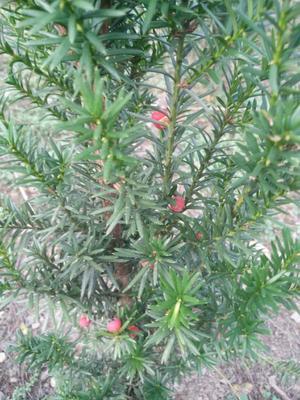 湖北省湖北省神农架林区南方红豆杉 2.0~2.5米