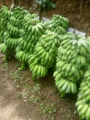 云南省普洱市思茅区西双版纳香蕉 八成熟 40斤以下