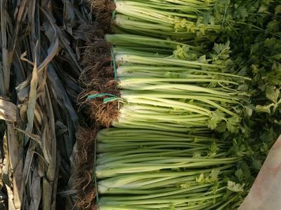 山东省青岛市平度市马家沟芹菜 60cm以上 露天种植 1.0~1.5斤