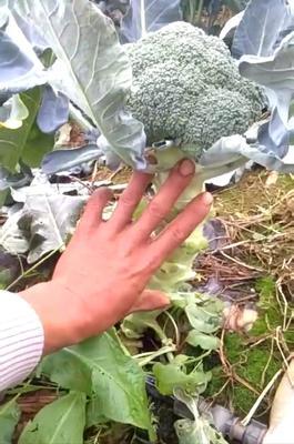 云南省昆明市安宁市耐寒优秀西兰花 2.0~2.5斤 25cm以上