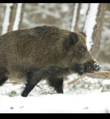甘肃省定西市岷县特种野猪 100斤以上 统货