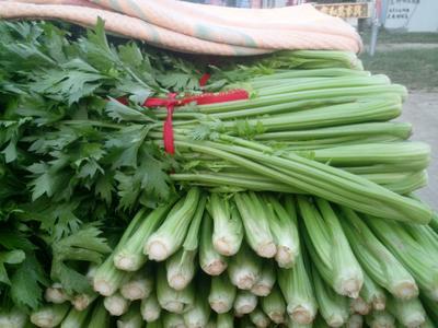 河南省开封市通许县玻璃脆芹菜 40~45cm 露天种植 0.5~1.0斤