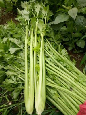 河南省商丘市夏邑县美国西芹 50~55cm 露天种植 0.5斤以下
