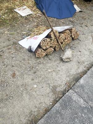 广西壮族自治区柳州市融水苗族自治县野生竹笋 9cm以下 鲜笋