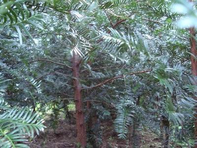 贵州省黔东南苗族侗族自治州雷山县南方红豆杉 0.5~1米