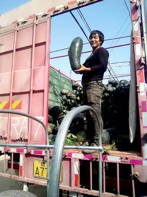 安徽省亳州市谯城区黑皮冬瓜 15斤以上 黑皮