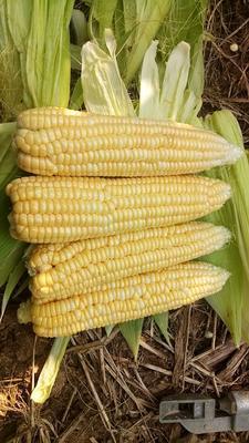 河北省沧州市献县先锋玉米 白粒 鲜货
