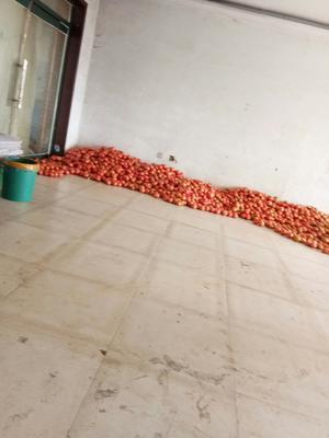 辽宁省朝阳市北票市硬粉番茄 不打冷 硬粉 通货