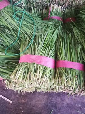河北省邯郸市丛台区大叶韭菜 二茬 20~30cm