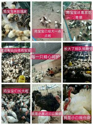 河南省周口市扶沟县青铜火鸡 5-10斤