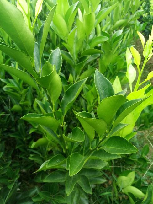 春见柑桔苗 嫁接苗 0.35~0.5米