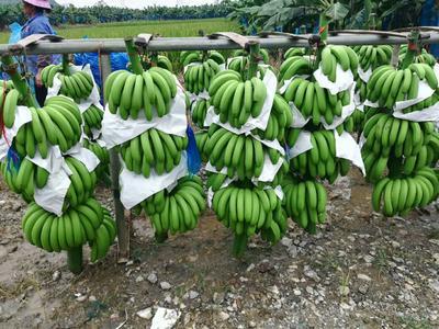 广西壮族自治区百色市田东县巴西香蕉 七成熟 40 - 50斤