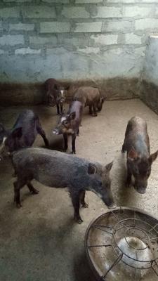 山东省菏泽市郓城县特种野猪 40-60斤 统货
