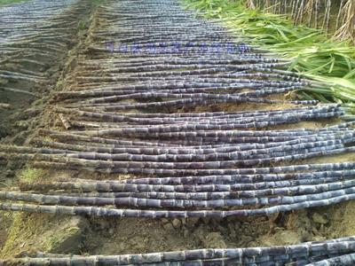 广东省清远市英德市黑皮甘蔗 3m以上 3 - 4cm